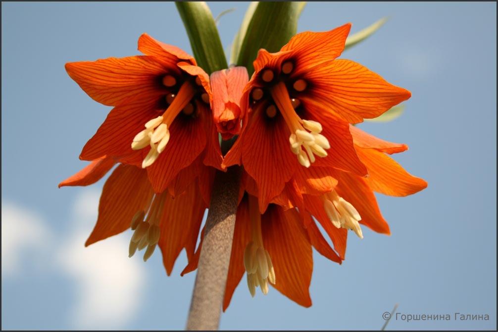 цветы рябчик королевский