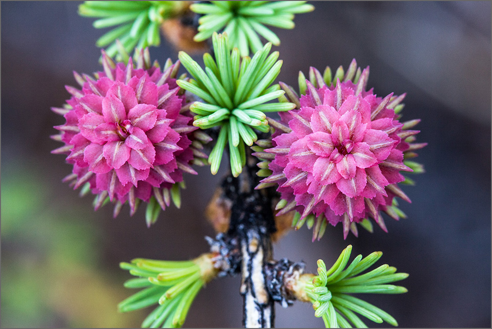 как цветет лиственница
