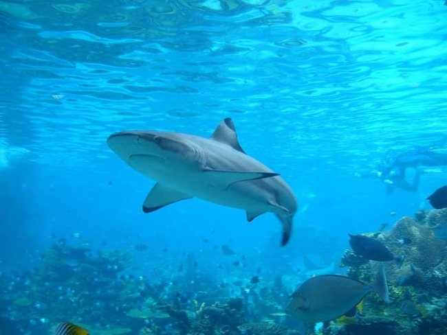 Миф 5 Ударьте акулу в нос, чтобы отпугнуть её