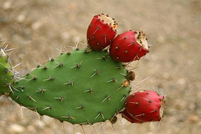 Миф 9 Вы можете пить воду из кактуса