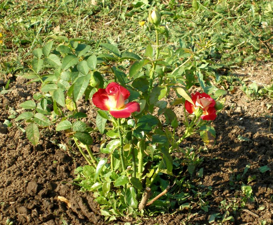 подмосковные розы