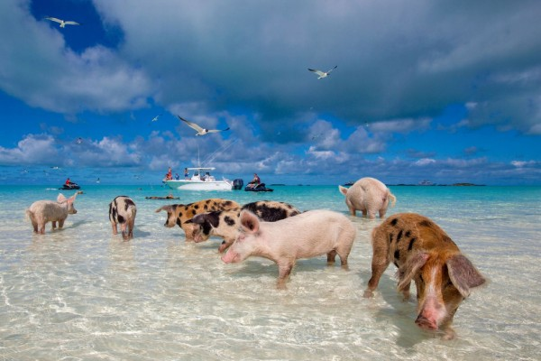 Свинки1