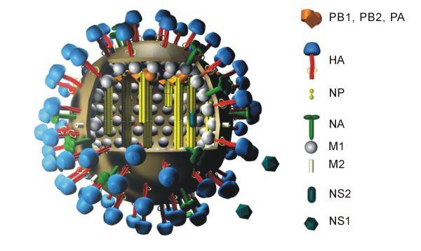 Трехмерная модель вируса гриппа