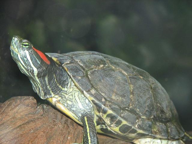 Красноухая домашняя черепаха - причина сальмонеллеза