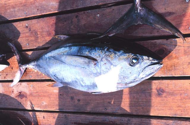Полуфабрикаты из желтоперого тунца явились причиной вспышки сальмонеллеза в США