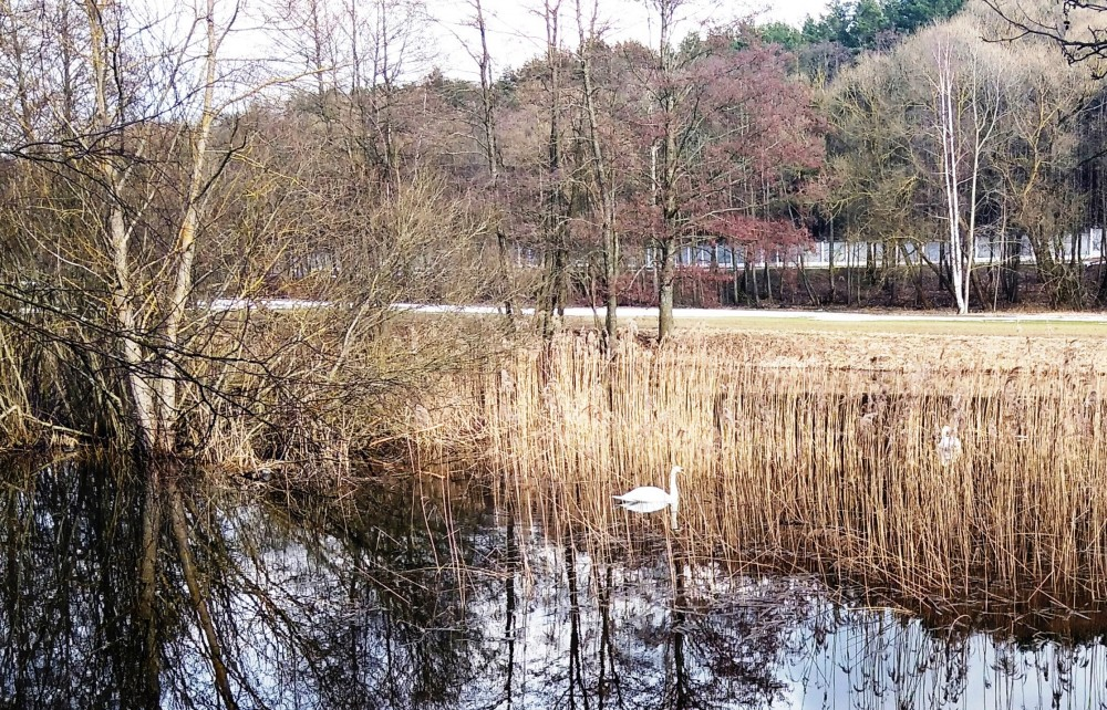 Лебеди успешно перезимовали — ищут место для гнезда.