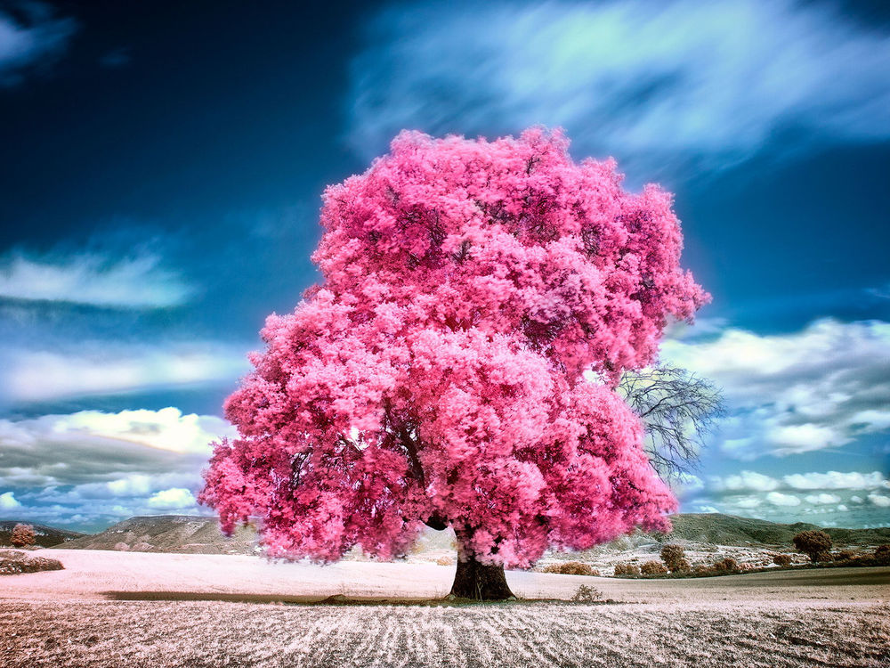 Большое розовое дерево (Тибухина).