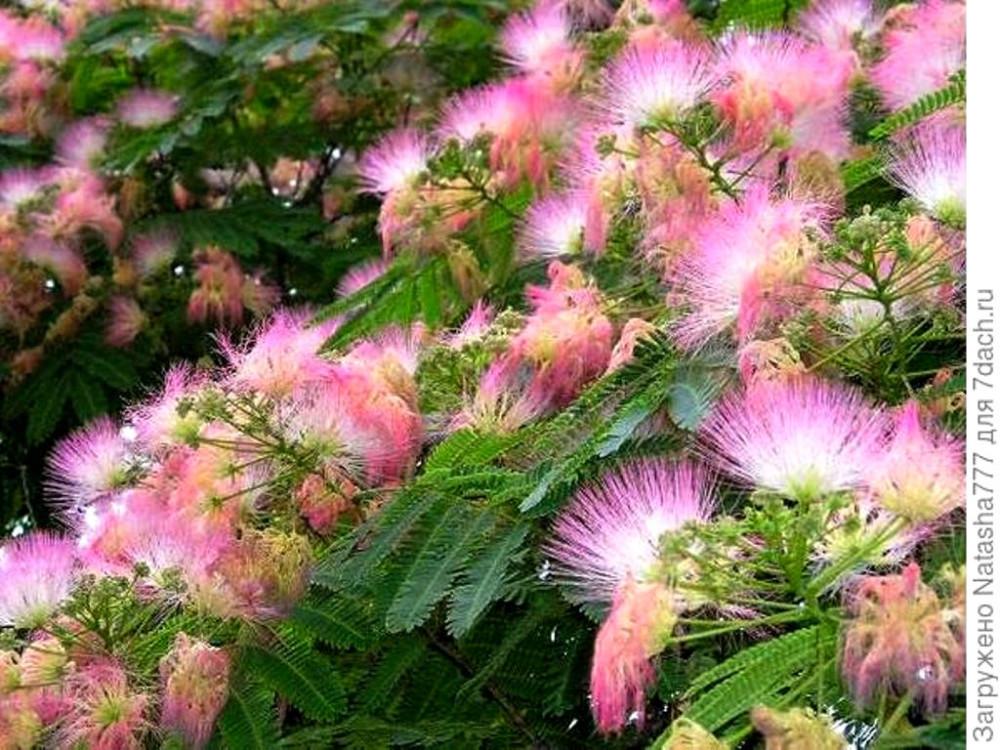 Цветы Альбиции