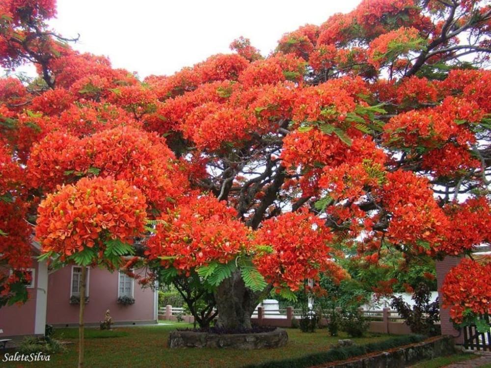 Королевский Делоникс (Огненное дерево)