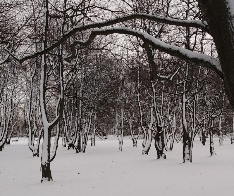 Ялоневый сад. Недавно выпавший мокрый снег примёрз к стволам.