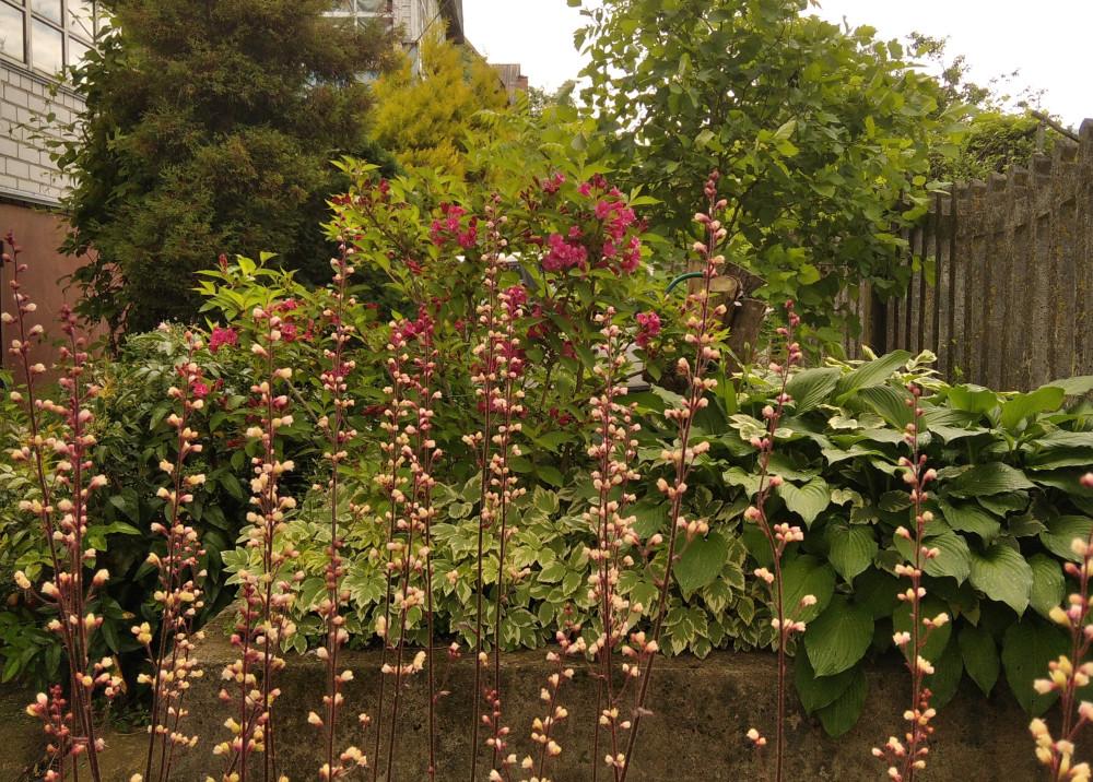 Цветки гейхеры