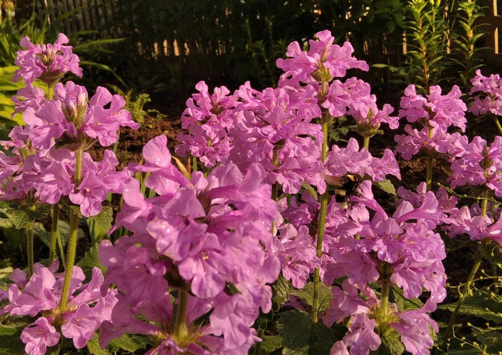Не знаю что за цветы. Дождик только что прошёл, а шмель уже трудится.