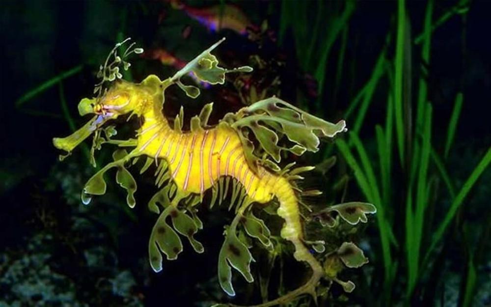 Морской дракон — родственник морскому коньку