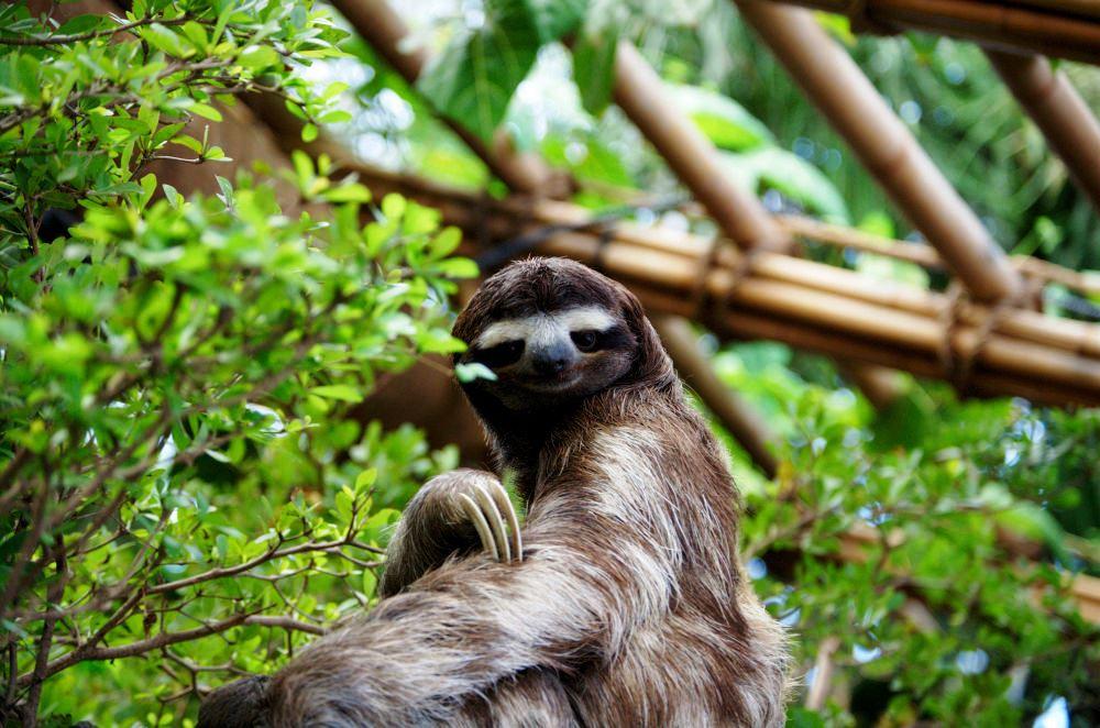 Ленивцы обитают в Центральной и Южной Америке и вполне соответствуют своему названию — это очень медлительные животные. У них отличное обоняние, но слабые зрение и слух.