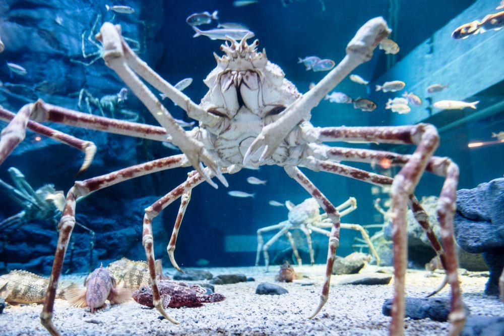 Японский краб-паук может достигать 4 метров в длину и весить до 20 килограммов. В пищу обычно употребляют мясо молодых крабов — считается, что оно нежнее и вкуснее. Краб-паук живет до 50 лет.