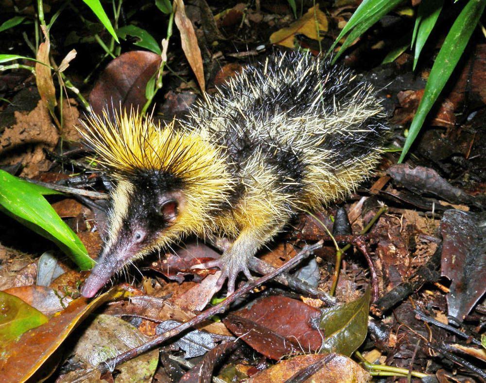 Полосатый тенрек напоминает ежа, имеет иглы на теле. Некоторые зверьки похожи на выдр, ежей, а другие — на опоссумов. Питаются дождевыми червями. Родина тенреков — Мадагаскар, также они встречаются в Центральной и Восточной Африке.