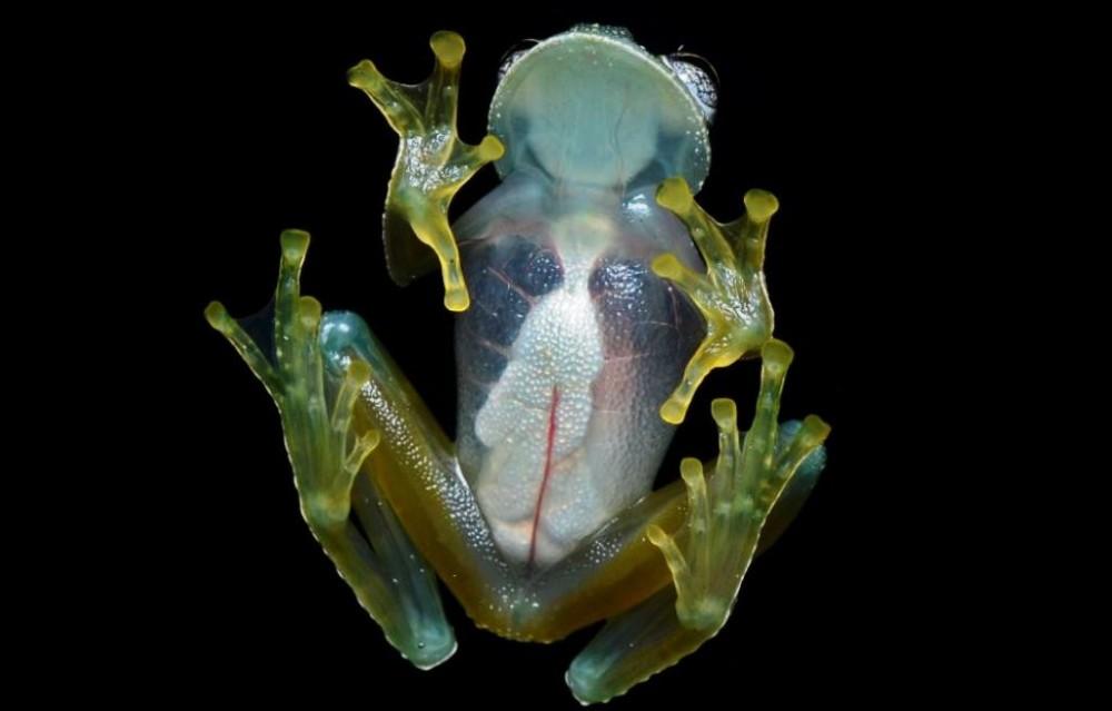 Лягушка. Но если смотреть снизу, можно увидеть все внутренние органы. Поэтому земноводное и назвали стеклянной лягушкой. Такие виды можно встретить в Центральной и Южной Америке.