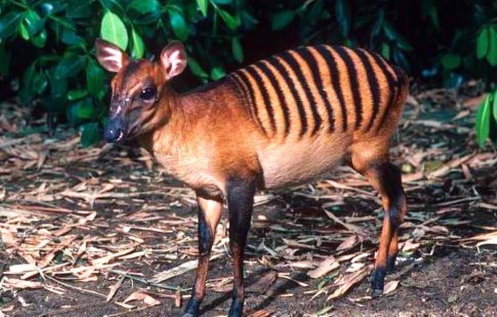 Зебровый дукер (Cephalophus zebra) Небольшое парнокопытное семейства полорогих, высота в холке которого не превышает 50 см. Обитает животное в Западной Африке.