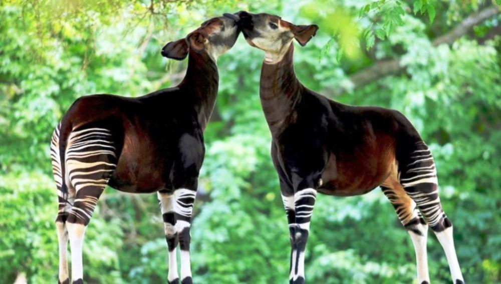 Окапи Джонстона — вид парнокопытных млекопитающее сем. Жирафовых, но больше похожа на лошадь. Живут исключительно в одном месте, на территории Республики Конго