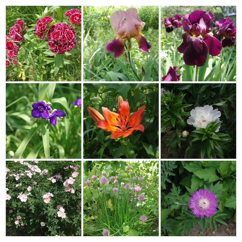 цветы, ирисы, гвоздика, традисканция
