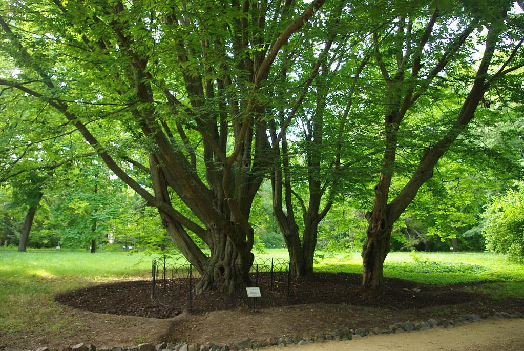 Аскания Нова, деревья