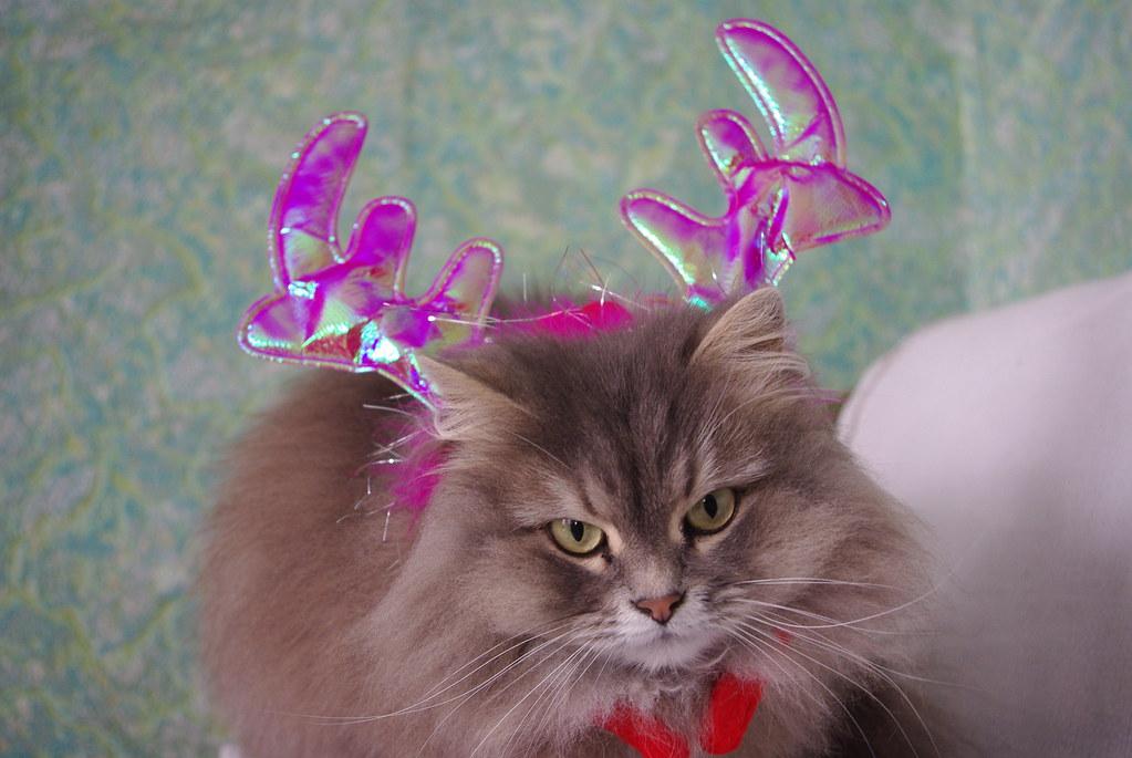 кішка сіра, пухнаста