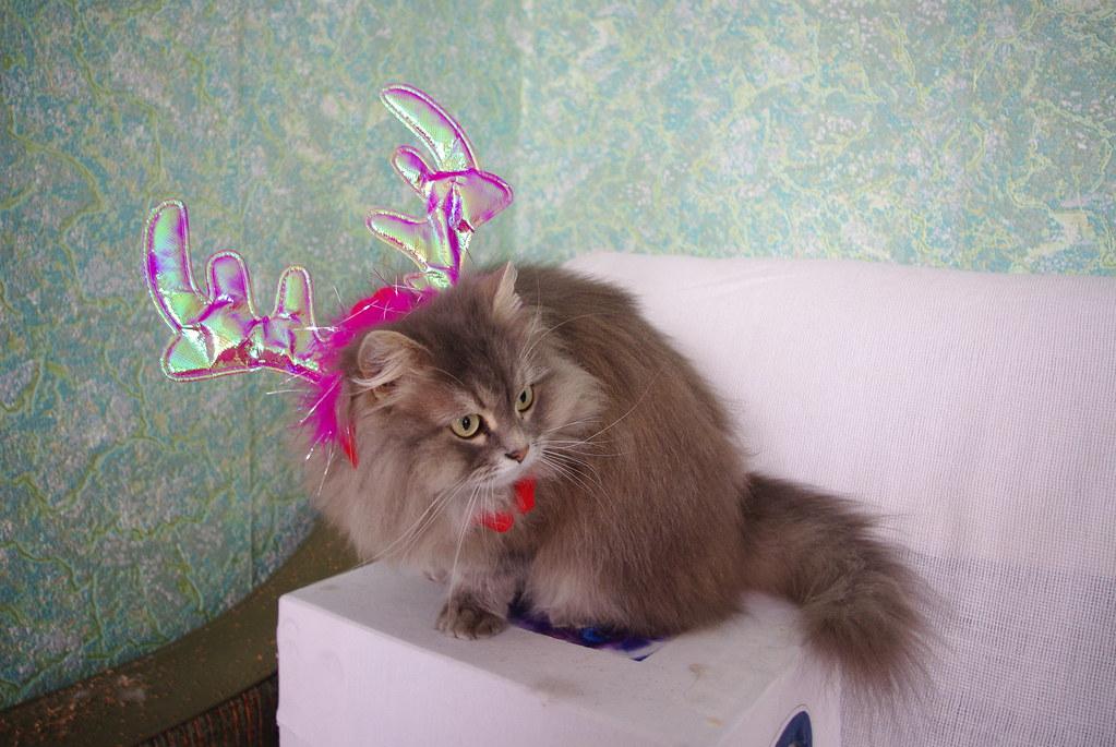 кошка серая, персидская
