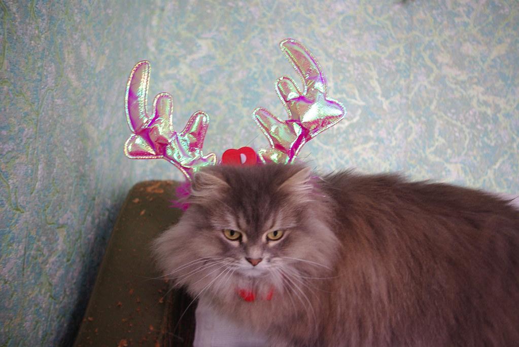 кішка сіра, персидська