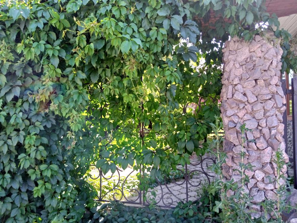 Виноград на заборе