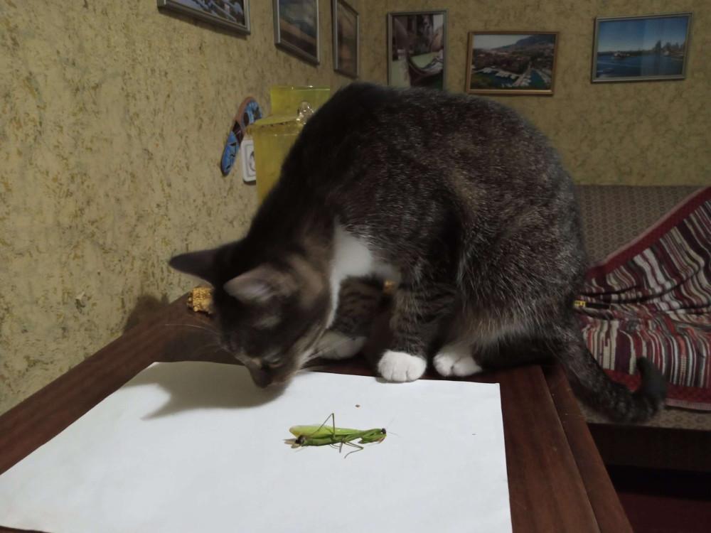 кошка поймала богомола