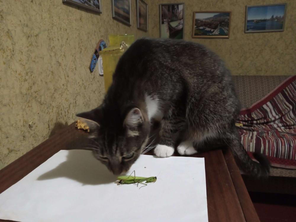 кошка и богомол