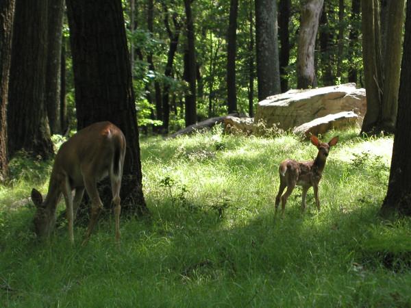 Deer2-July05