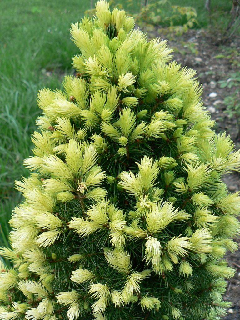 picea-glauca-daisys-white-23-04-08