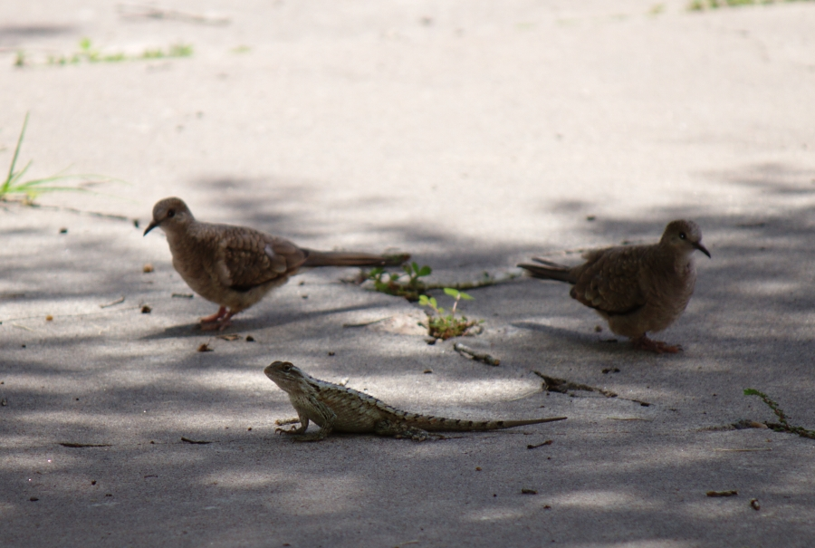 tx_spiny_doves_IMG_0029LR