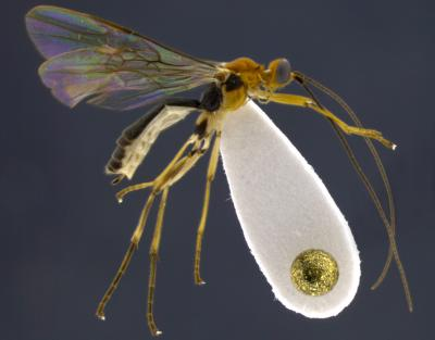 Shimbori and Shaw 2014. FIG 1 Shakira wasp