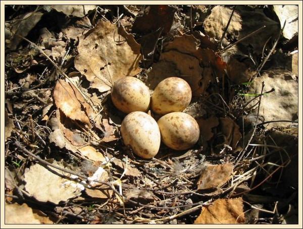 гнездо рябчика 2