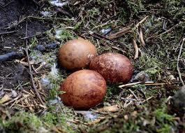 яйца сапсн