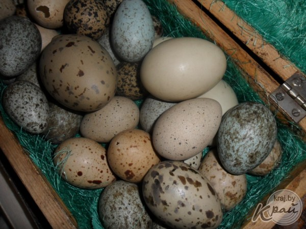 коллекция яиц более 100 видов.