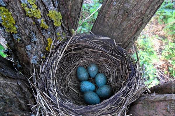 гнездо дрозда-рябинника 2