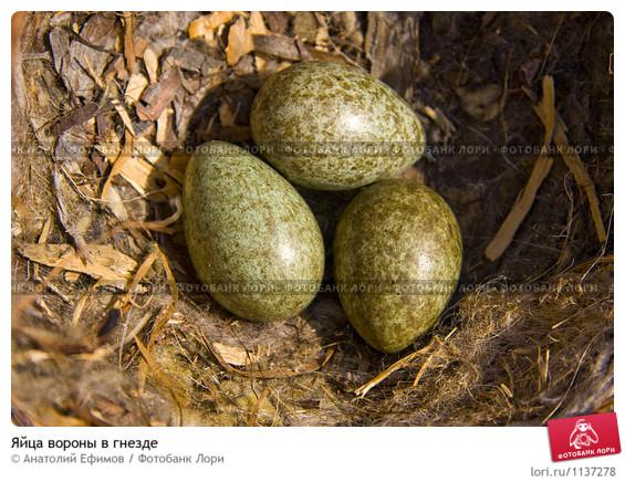 яйца вороны