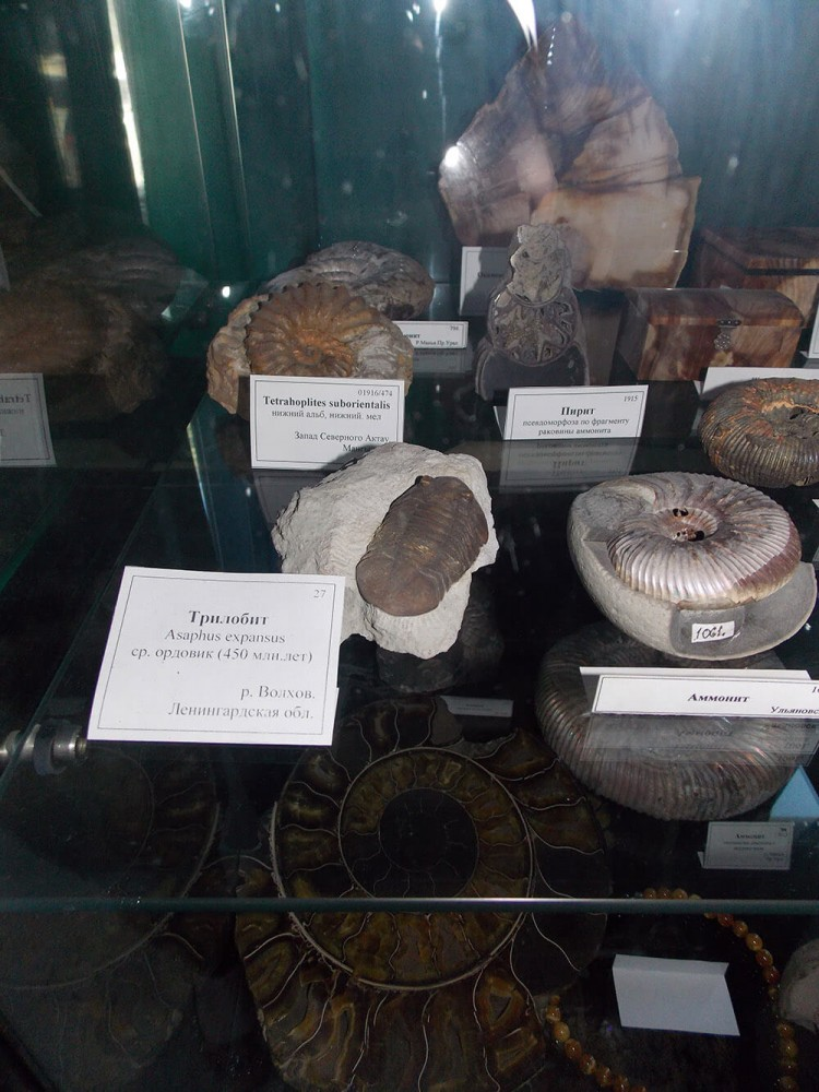 Аммониты и трилобит