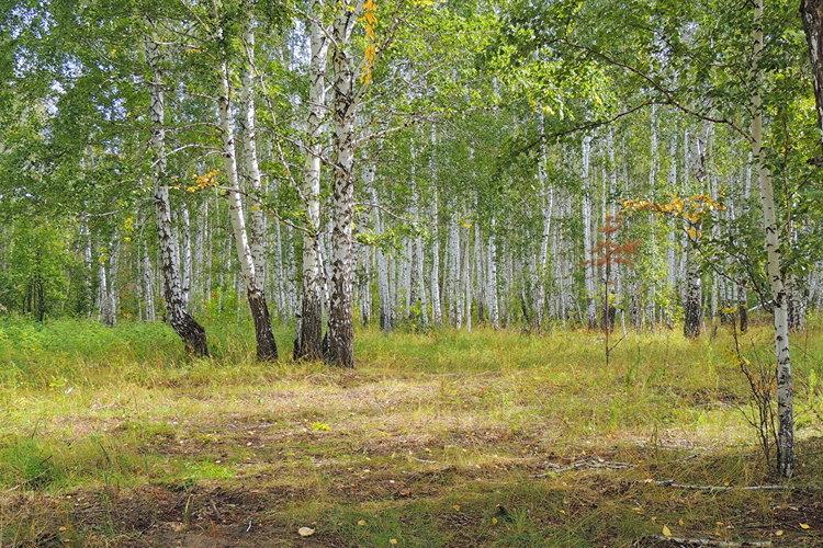 Россия Леса Березы Трава Деревья Природа