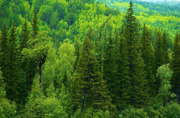 Россия Леса Деревья Ель Природа