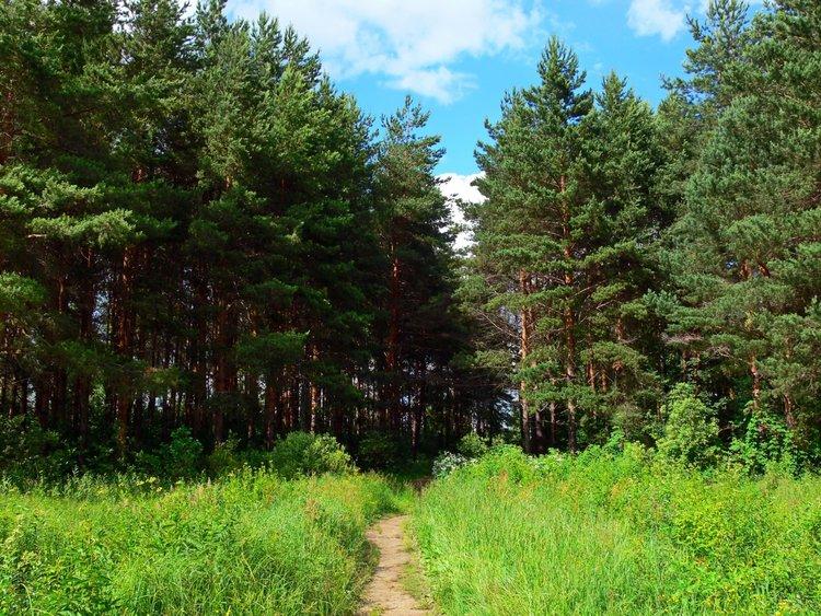 Россия Леса Лето Ярославль Тропа Деревья Трава тропинка