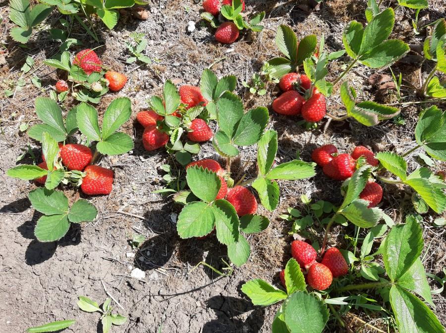 strawberry-5265608_1920.jpg