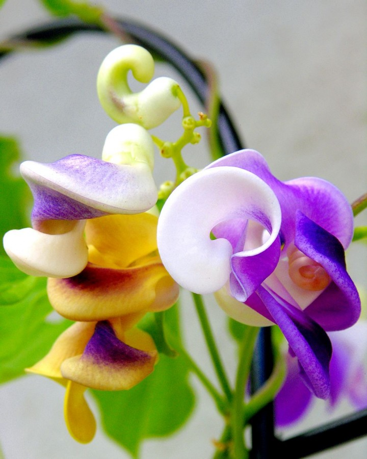 TWISTED Corkscrew Vine Blossoms