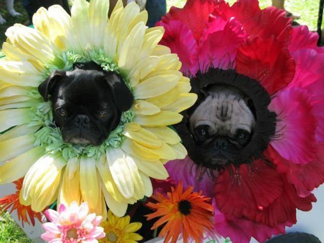 cvetochnie-sobaki