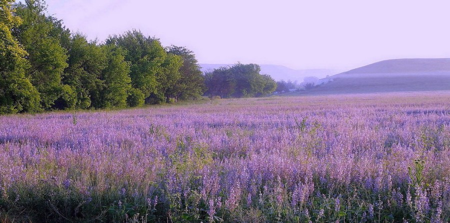 Шалфей – трава бессмертия