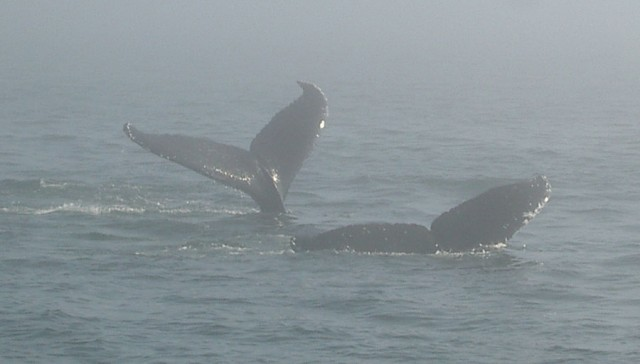 Two Whales Fluking in the Fog