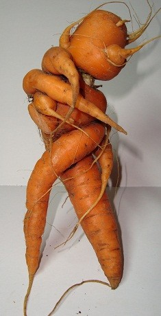 Морковь 6